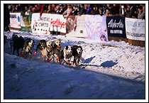 sled dogs race at the start of Iditarod, Anchorage, Alaska
