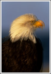 bald eagle, double exposure photo, Homer, Alaska.
