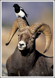 Bighorn ram sheep with western magpie perched on his horns, Jasper National Park, Alberta, Canada.