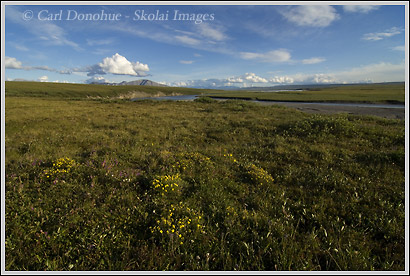Arctic wildflowers, coastal plain, ANWR, Alaska