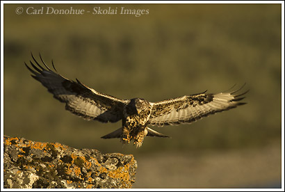 Rough-legged Hawk, Canning River, Arctic National Wildlife Refuge, Alaska.