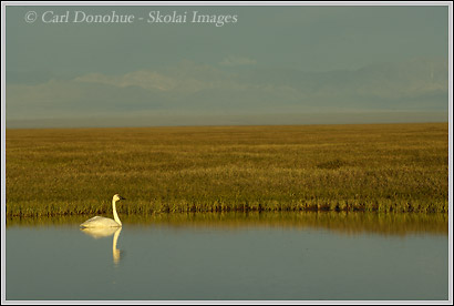 Another Tundra Swan, Arctic National Wildlife Refuge, Alaska.