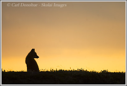 Red fox kit silhouette, Arctic National wildlife refuge, alaska