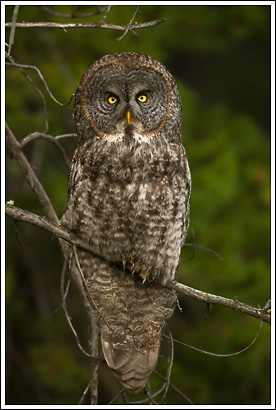 Great Gray Owl, Banff National Park, Alberta, Canada.