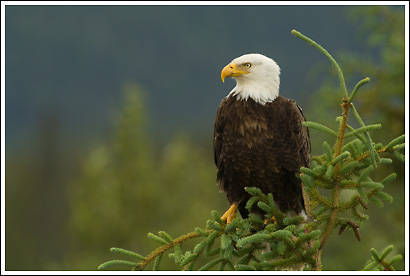 Bald eagle, Jasper National Park, Alberta, Canada.