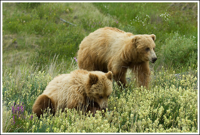 Grizzly sow and cub, Yukon Territory, Canada.