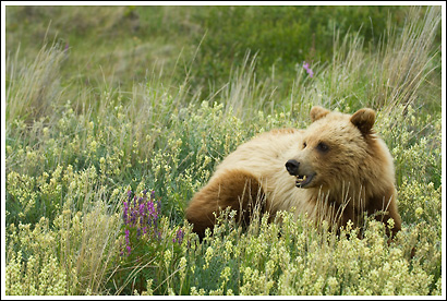 Grizzly bear cub feeds on wildflowers, Yukon Territory, Canada.
