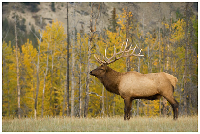 Bull elk, fall colors, Jasper National Park, Alberta, Canada.