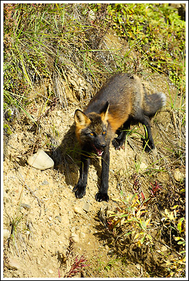 Cross Fox Photo, Denali National Park, Alaska.