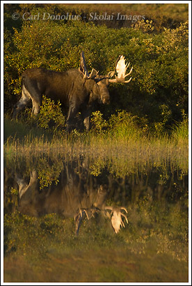 Bull Moose and reflection, Denali National Park, Alaska.