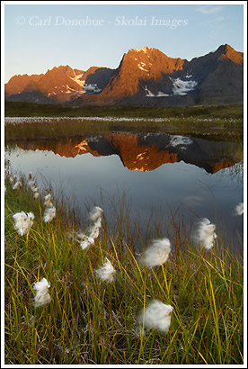 Alaska Cotton Grass and Chugach Mountains, Wrangell St. Elias National Park, Alaska.