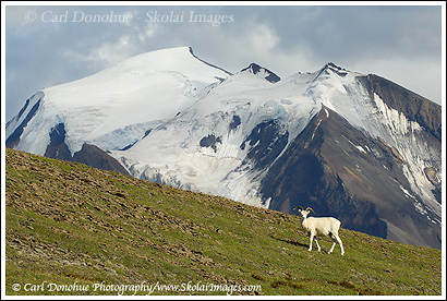 A dall sheep ewe stands on a ridge above the Chittistone Valley, in Wrangell - St. Elias National Park, Alaska.