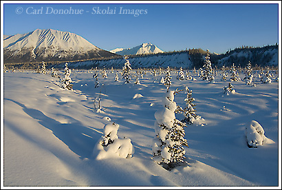 Fresh powder snow covers the young spruce along the Kennecott River in winter, Wrangell - St. Elias National Park, Alaska.