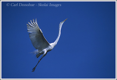 A great egret, in flight, comes in to land in its nest during breeding season. Breeding plumage Great Egret, St. Augustine Florida.