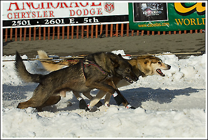 The start of the Iditarod, 2008, brings sled dogs racing down 4th street, Anchorage, Alaska, as they