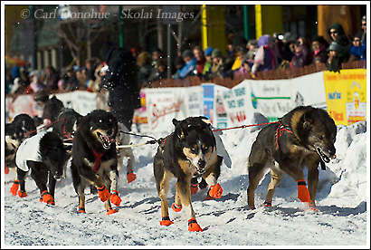 The start of the Iditarod is dog mayhem, Anchorage, Alaska.
