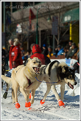 Iditarod, 2008, Anchorage, Alaska.