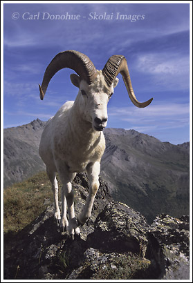 A Dall sheep ram photo, taken late summer, Denali National Park, Alaska.