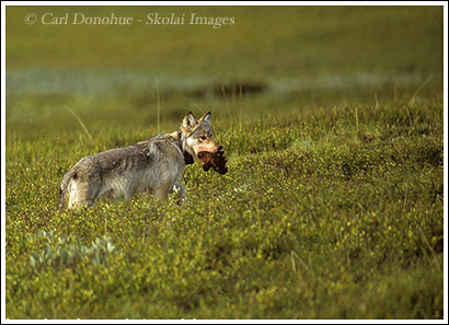 A female wolf, alpha female of the Grant Creek Pack, in Denali national Park, stands with the head of a small caribou she hunted and killed earlier that day.