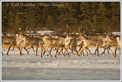caribou herd crossing frozen lake, wrangell st. elias national park, alaska.