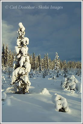 snow-covered spruce tree, wrangell st. elias national park, winter.
