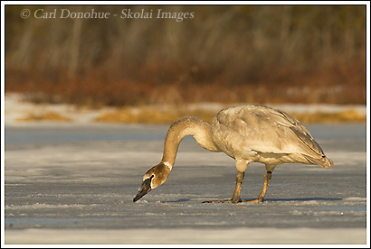Juvenile trumpeter swan on ice, Wrangell St. Elias National Park, Alaska.