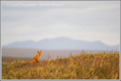red fox kit on the coastal plain, arctic national wildlife refuge, alaska.