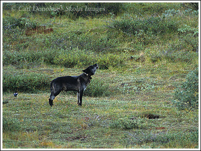 Wild black wolf, alpha male, howling, Denali National Park, Alaska.