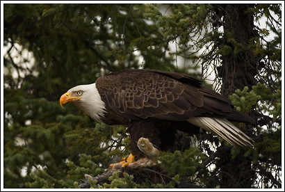 Bald eagle, feeding on snowshoe hare, Alaska.