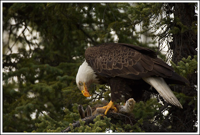 adult bald eagle, eating snowshoe hare, Alaska.