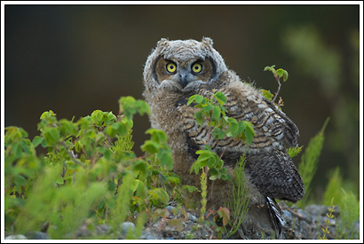 baby Great Horned owl chick, Wrangell St. Elias National Park, Alaska.