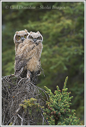 Great Horned Owl chicks, perched on a spruce tree, Wrangell - St. Elias National Park, Alaska.