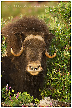 Muskox photos, Arctic coastal plain, alaska.