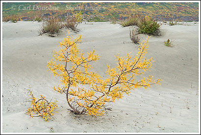 Willow bush, fall colors, sand dunes, Wrangell - St. Elias National Park, Alaska.