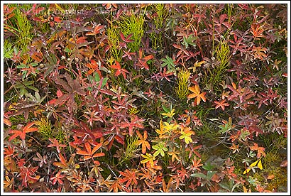 Fall colors in the alpine tundra, Wrangell - St. Elias National Park, Alaska.