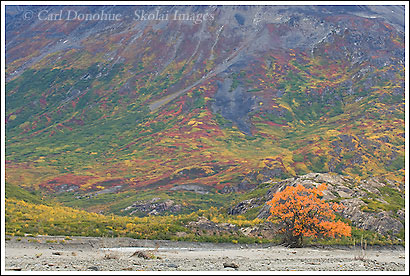 Willow bush, turning orange, fall colors, Wrangel - St. Elias National Park, Alaska.