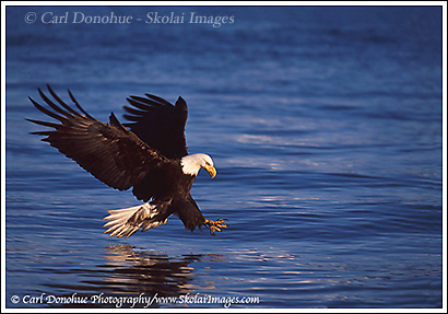 Bald eagle, catching a fish, Kachemak Bay, Homer, Alaska.