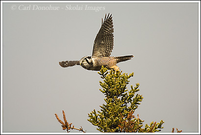 Northern Hawk Owl, Wrangell - St. Elias National Park, Alaska.