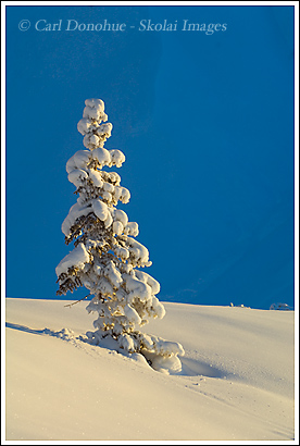 Snow covered spruce tree, Wrangell - St. Elias National Park, Alaska.