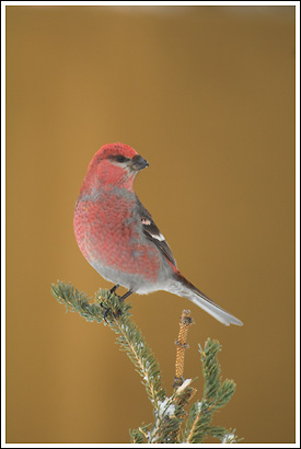 Pine Grosbeak, male, Wrangell - St. Elias National Park, Alaska.