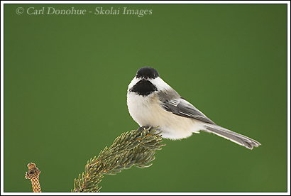 Black-capped Chickadee, Wrangell - St. Elias National Park, Alaska.