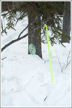 Lynx trap set, compact disc hanging from branch, winter, Wrangell St. Elias National park, Alaska.