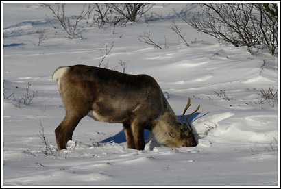 A caribou cow digging under snow for food, feeding on lichens and grasses, in winter, Wrangell - St. Elias National Park, Alaska.
