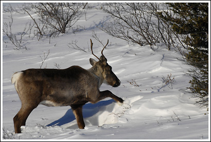 A caribou cow uses her front hooves for digging through snow, to get at lichens and grasses to feed on, winter, Wrangell - St. Elias National Park, Alaska.