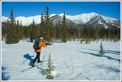 Skier, cross country skiing, springtime, in the forest, Wrangell - St. Elias National Park, Alaska.