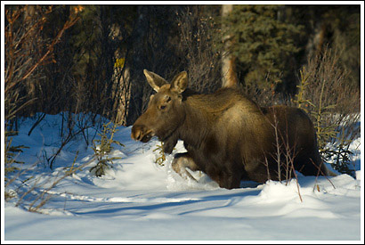 A young bull moose wades through deep powdery snow, winter, boreal forest, Wrangell - St. Elias National Park, Alaska.