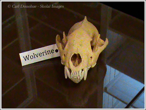 Wolverine Skull, NPS Visitors Center, Wrangell - St. Elias National Park, Alaska.