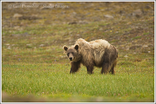 A grizzly bear (Ursus arctos) on the tundra in Chitistone Pass, Wrangell - St. Elias National Park, Alaska.