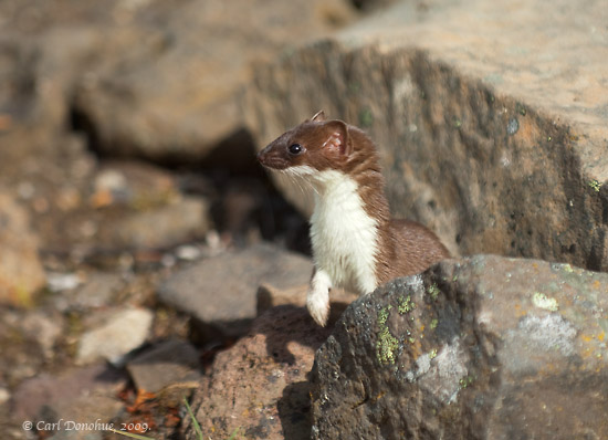 Least Weasel photo, on a rock, Skolai pass, Wrangell - St. Elias National Park, Alaska.