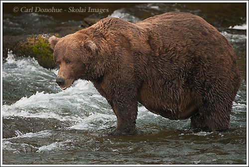 A well fed, big bellied male grizzly bear at Brooks River, Katmai National Park, Alaska.